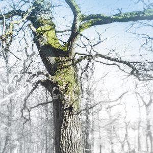 Bild-Baum-Eiche-Hütewald